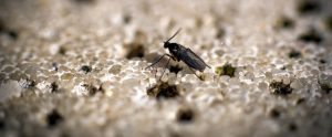 How to Get Rid of Gnats – Tips and Information That You Should Know