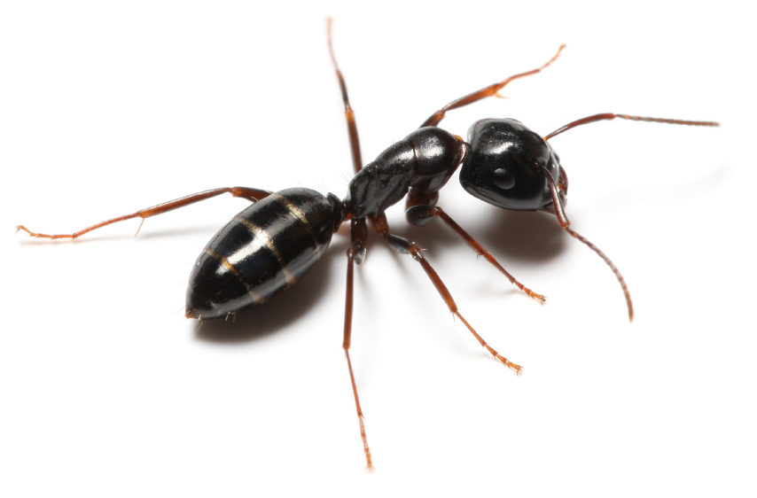 Odorous House ant